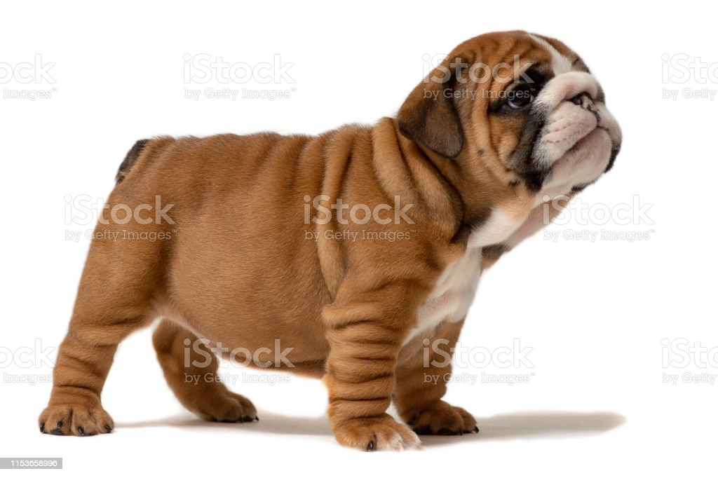 Cute Puppy Six Week Old English Bulldog Puppy Looking At Viewer Stock Photo Download Image Now Istock