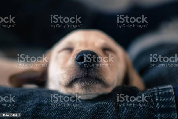 Cute puppy sleeping picture id1097793914?b=1&k=6&m=1097793914&s=612x612&h=uyiyig6x34248sqs2lkkfbm  ejv8vqle8aopxkglwk=