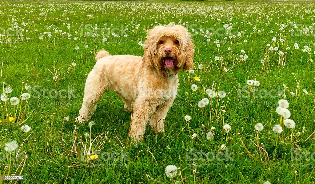 Cute Puppy Stands in Green Grass stock photo