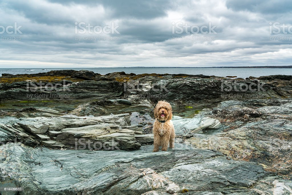 Cute Puppy Stands on Ocean Rocks stock photo