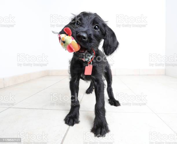 Cute puppy waiting to be adopted miniature schnauzer mixedbreed dog picture id1129532127?b=1&k=6&m=1129532127&s=612x612&h=utdmbj5q8oaq tkhp6zlmmxikwoul2mureabmy ihqo=
