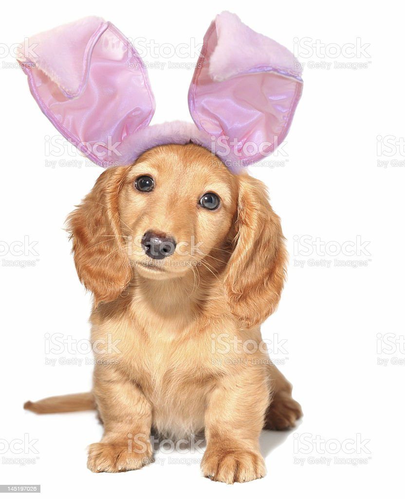 A cute puppy wearing Easter bunny ears stock photo