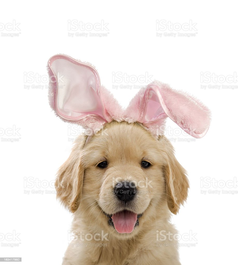 Cute puppy wearing pink rabbit ears for Easter stock photo