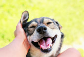 istock cute puppy with a happy face in pleasure and opened his mouth at the hands of man, scratching behind his ear 1041987292