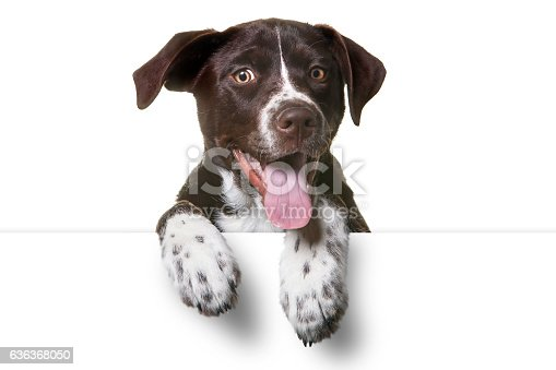 istock Cute Puppy with paws over white sign 636368050