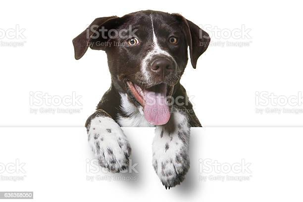 Cute Puppy with paws over white sign