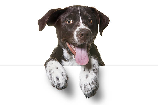 Cute Puppy with paws over white sign stock photo