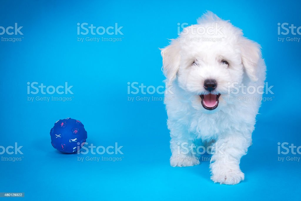 Cute Puppy With Toy On Blue Background Stock Photo Download Image Now Istock