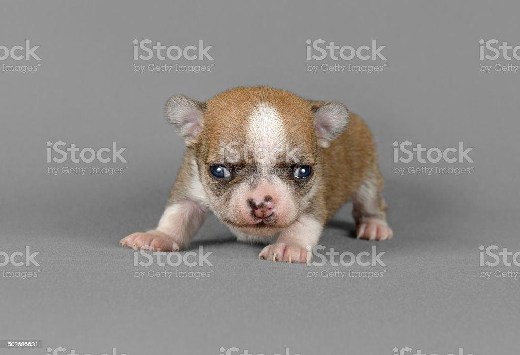 Carino Chihuahua Cucciolo Di Razza Pura Fotografie Stock E Altre