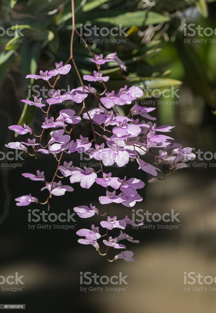 cute purple oncidium orchid flower Lizenzfreies stock-foto