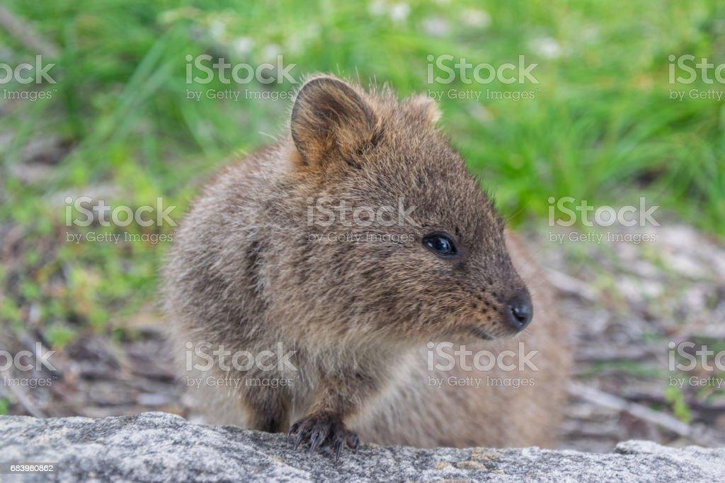 Cute qoakka. Rottnest Island, Western Australia stock photo