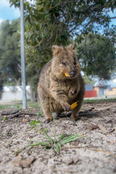 cute qoakka. rottnest island, western australia - wombat stock photos and pictures
