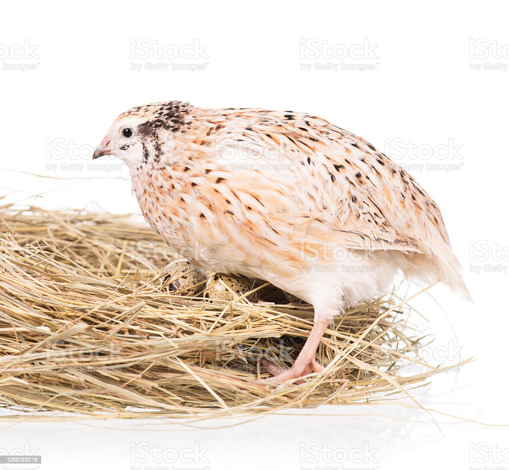 Cute quail royalty-free stock photo