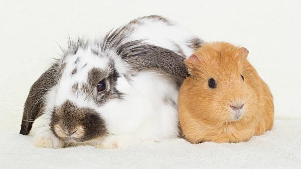 Süße Kaninchen und ein Meerschweinchen golden – Foto