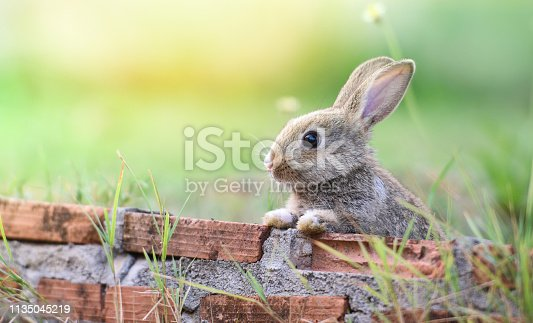 istock Cute rabbit sitting on brick wall and green field spring meadow / Easter bunny hunt for easter egg 1135045219