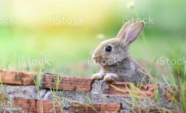 Cute rabbit sitting on brick wall and green field spring meadow picture id1135045219?b=1&k=6&m=1135045219&s=612x612&h=wuq1kgmhmad3ydqs2mpbak nzyosdxhccnbte0e6dke=
