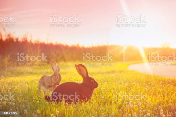 Cute rabbit with big ears outdoors in sunset picture id908039586?b=1&k=6&m=908039586&s=612x612&h=d3ijfpatmcexm2cdrpzexx5duioyqgl2i2biduhwjf8=