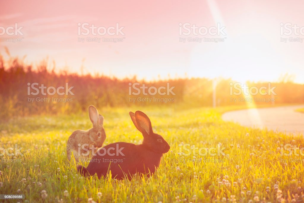 Cute rabbit with big ears outdoors in sunset stock photo