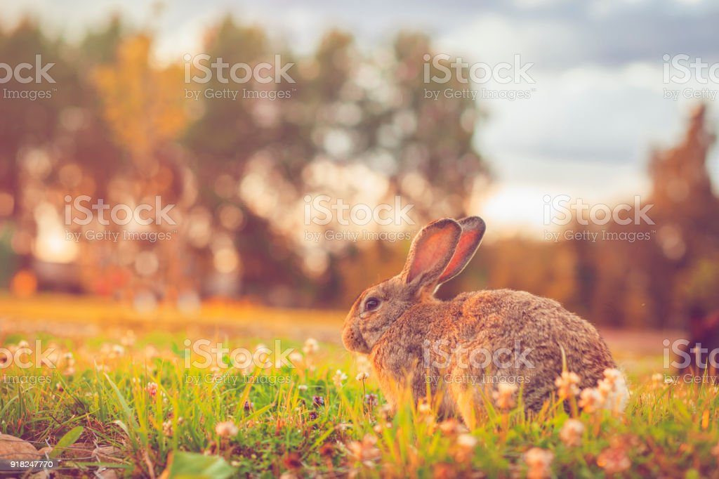 Cute rabbit with big ears outdoors stock photo