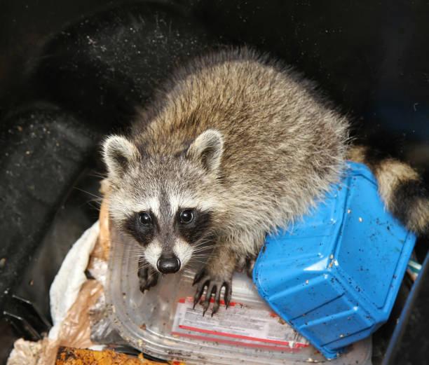 cute raccoon caught in a trash can - desperdício alimentar imagens e fotografias de stock