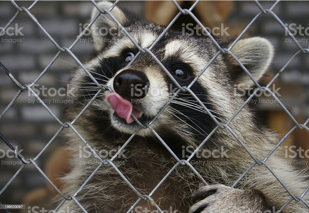 cute raccoon cute raccoon behind grating with his tongue out Animal Stock Photo