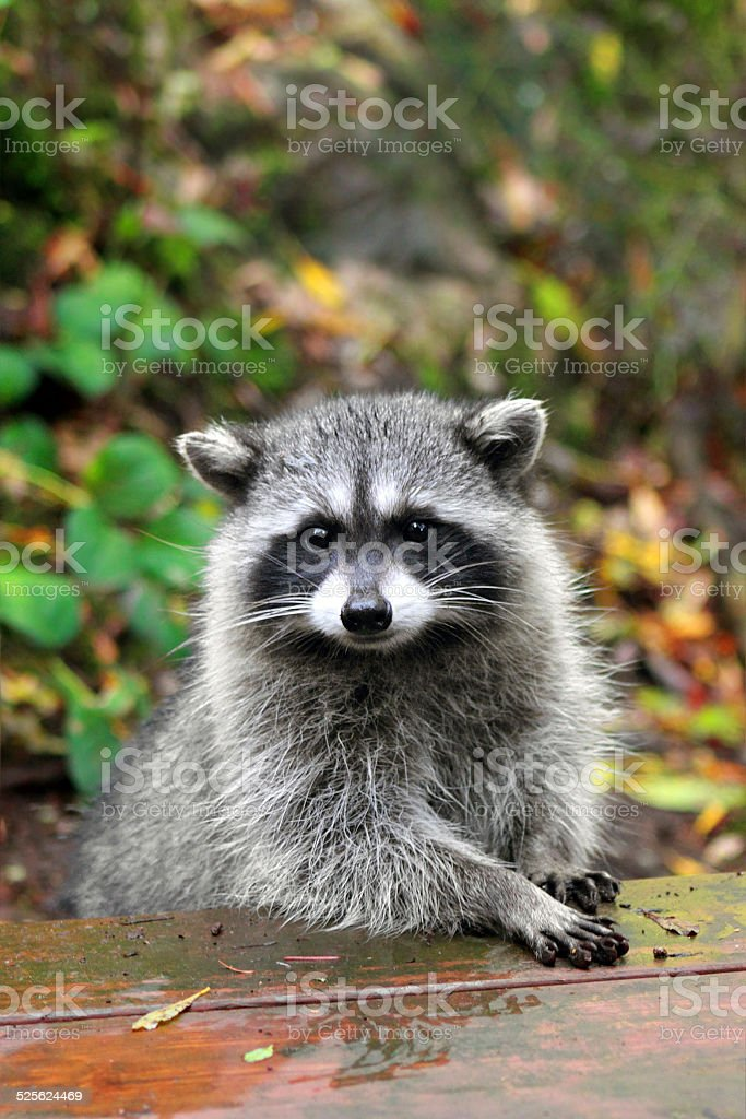 Cute Raccoon stock photo