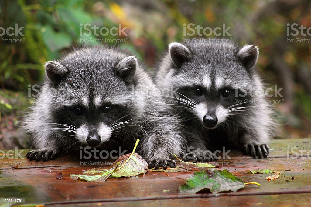 Cute Raccoons stock photo