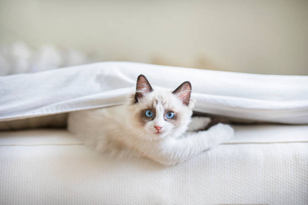 Cute ragdoll kitten in the bed picture id1001358082?b=1&k=6&m=1001358082&s=612x612&w=0&h=5xp2q4z67cpkvtc4hfgswkrnbpqtzvvqiueg3kmgp6m=