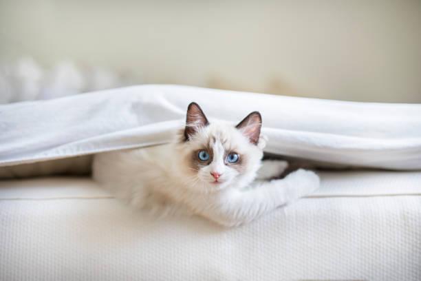 yatağın de şirin ragdoll kedi - omurgalı stok fotoğraflar ve resimler