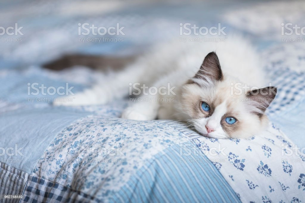 Cute ragdoll kitten on patchwork quilt stock photo