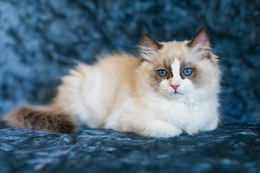 cute ragdoll kitten picture id960458608?k=6&m=960458608&s=170667a&w=0&h=zLMBFlTW6R93X gR7p3CjMb zZafZPY7bwoNcl7MoGI= - If You Think You Get , Then This Might Change Your Mind
