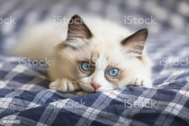 Cute ragdoll kitten picture id962599402?b=1&k=6&m=962599402&s=612x612&h=hasm6ouqio2p3ocu5wjxwx5q09ot41lh 52pdkggdjo=