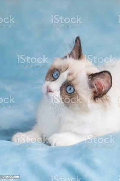 Cute ragdoll kitten picture id978200388?b=1&k=6&m=978200388&s=612x612&h=dsj0xh9glv9up8lavuhrbdxo txekw n3chrrookbzm=