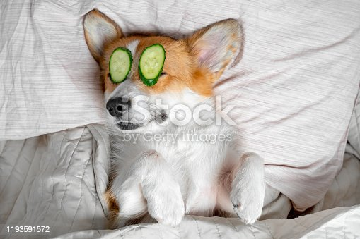 Cute red and white corgi lays on the bed  relaxed from spa procedures on face with cucumber, covered with a towel.