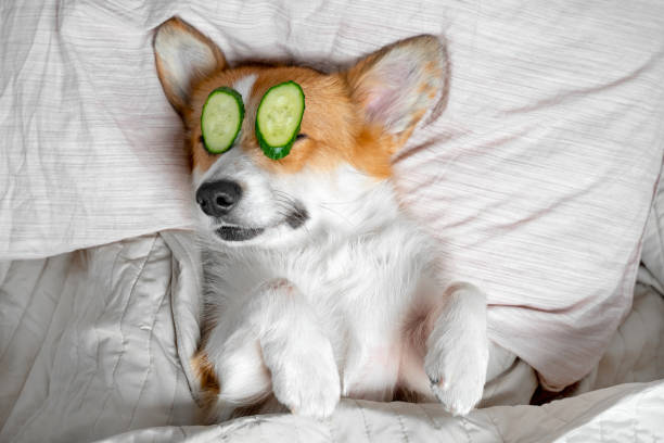 cute red and white corgi lays on the bed  relaxed from spa procedures on face with cucumber, covered with a towel. - dog stock pictures, royalty-free photos & images