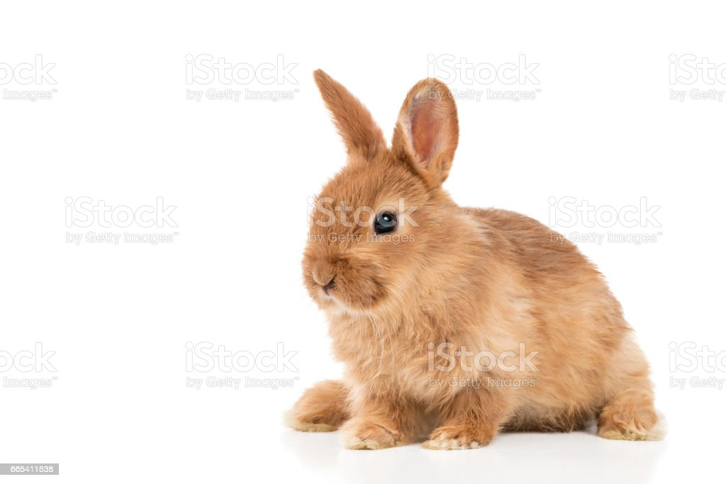 Cute red bunny on white stock photo
