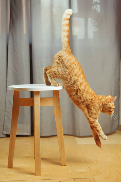 Cute red cat standing jumping from chair going to escape picture id1139667012?b=1&k=6&m=1139667012&s=612x612&w=0&h=fvqtmxwvxrj6z6knrojvfbjqi9ldvyrj8lmajdf iac=