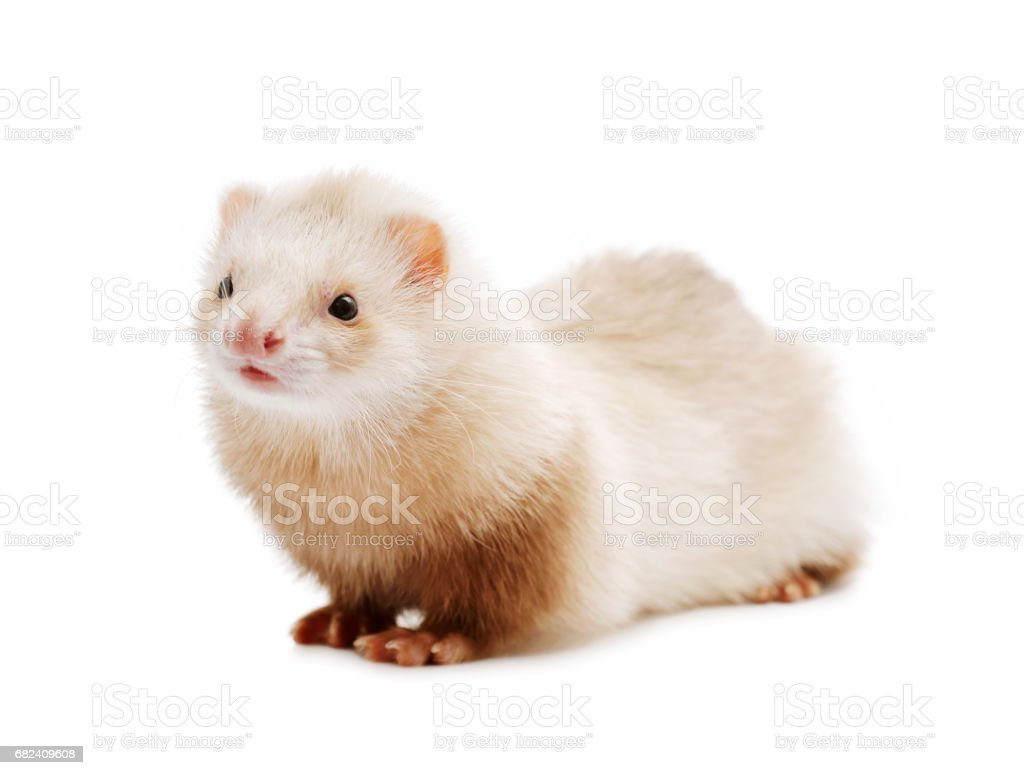 Cute red ferret royalty-free stock photo