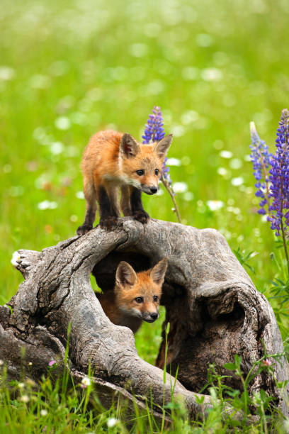 Cute red fox pups play in field of flowers stock photo