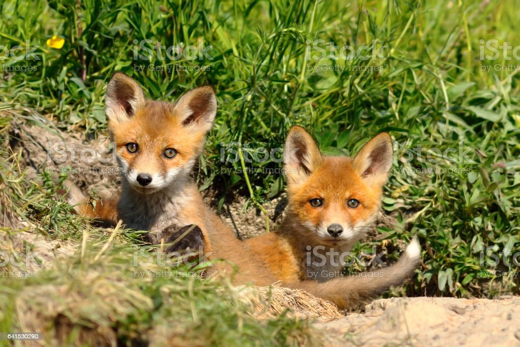 cute red fox siblings at the entrance of the den stock photo