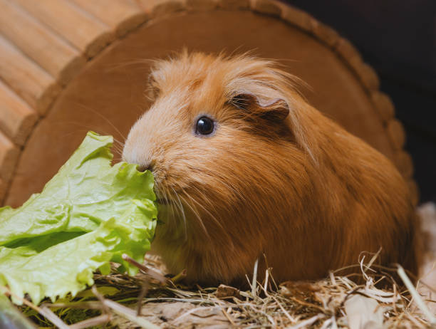 Cute red guinea pig eating lettuce leaf stock photo