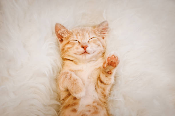 cute, red kitten is sleeping on his back and smiling, paws up. concept of sleep and good morning. - котёнок стоковые фото и изображения
