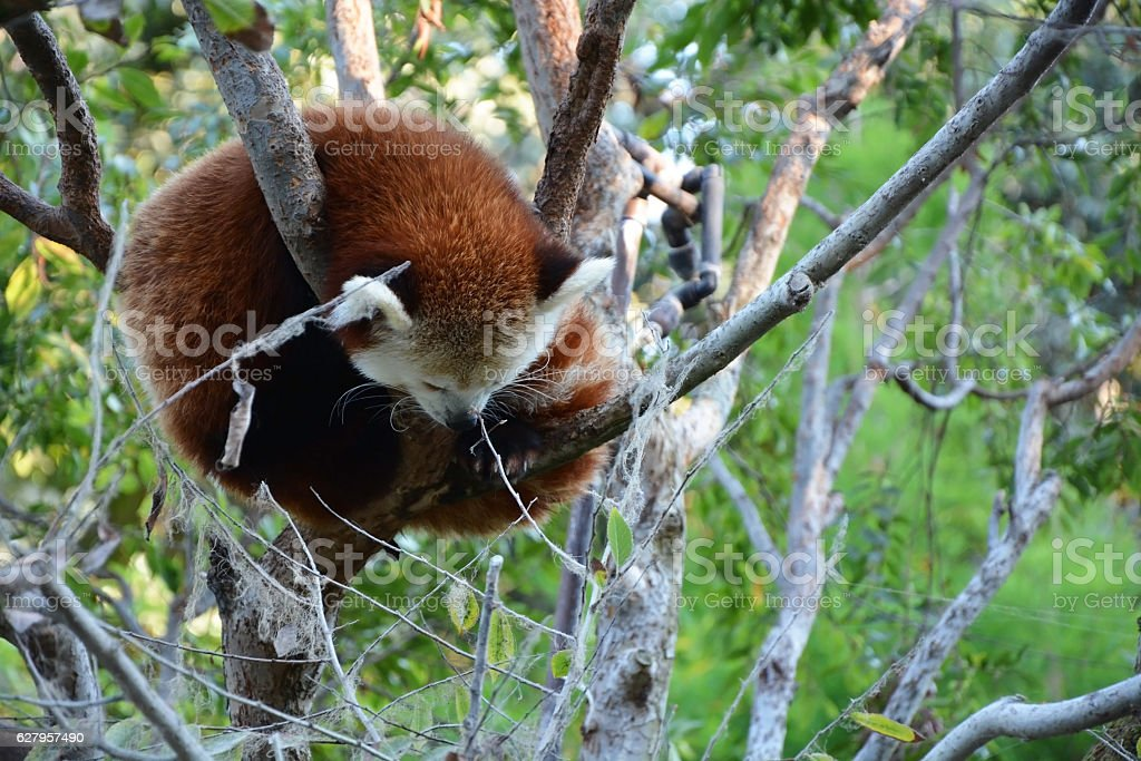 Cute red panda at the tree stock photo
