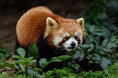 A cute Red Panda in the wild