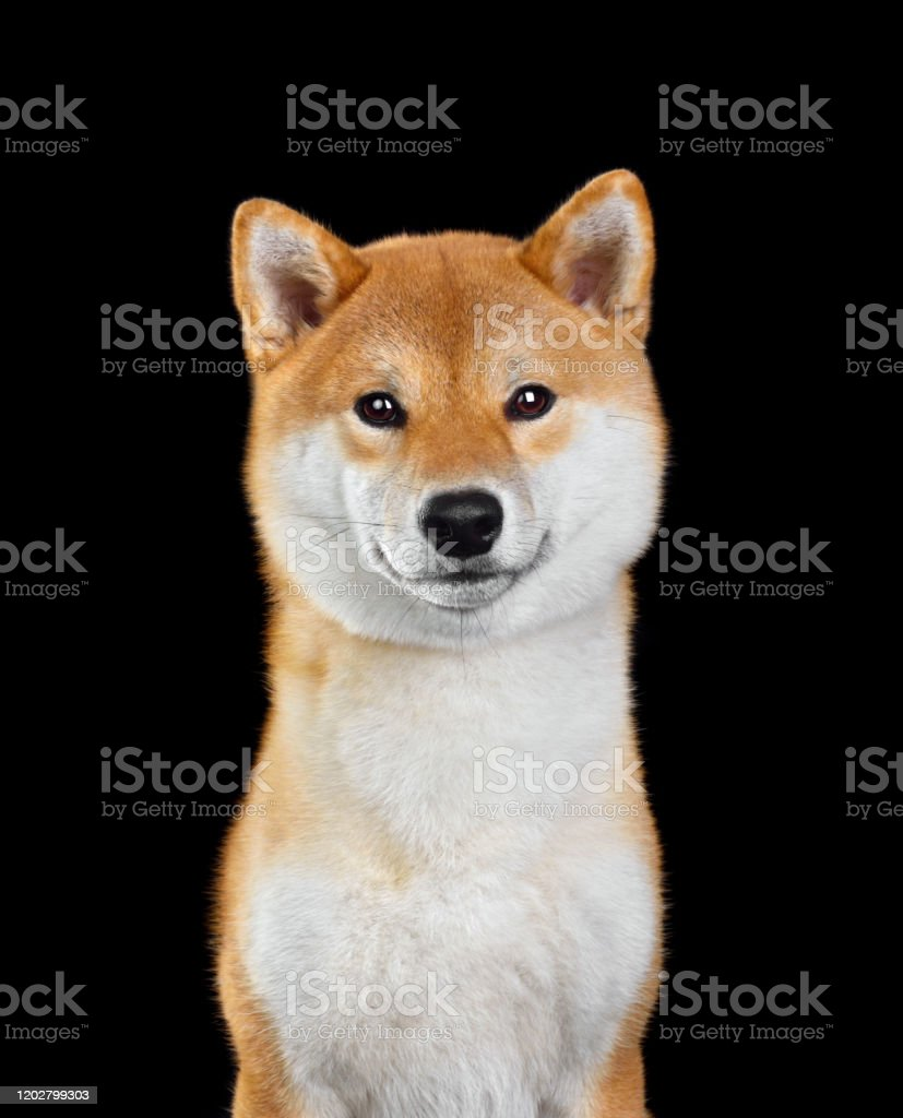 Cute Red Shiba Inu Stock Photo Download Image Now Istock