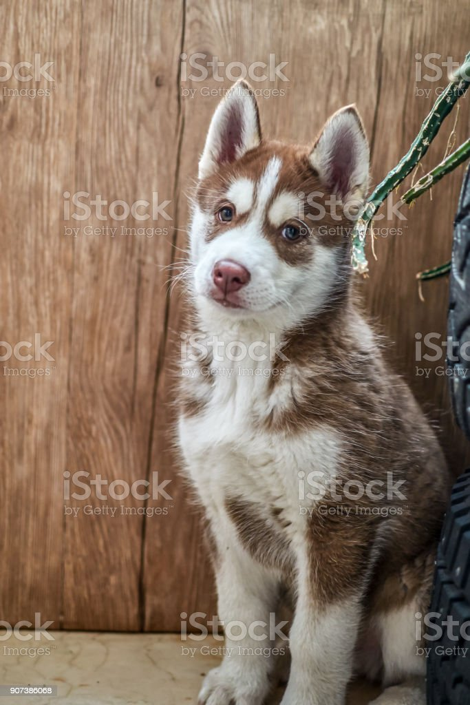 Cute Red Siberian Husky Puppy Stock Photo More Pictures Of Animal