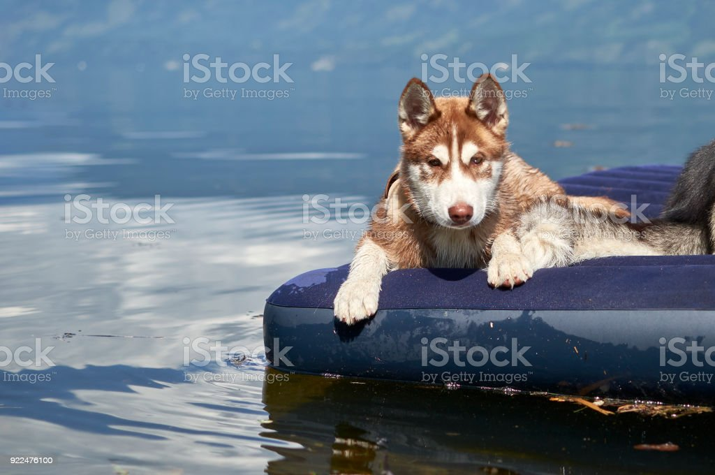 Cute Red Siberian Husky Puppy Stock Photo More Pictures Of Altai