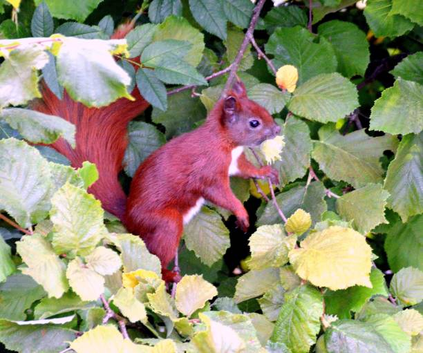 Cute red squirrel looking for hazelnuts stock photo