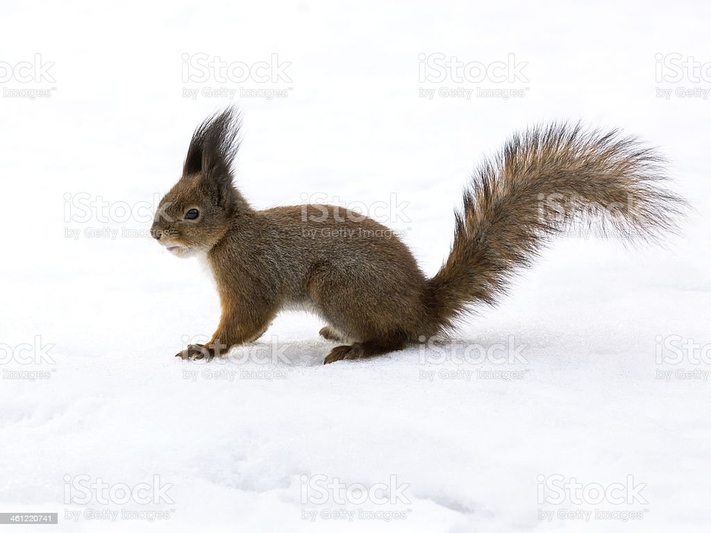 Cute red squirrel on snow stock photo