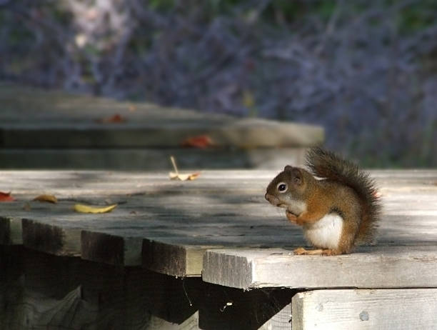 cute red squirrel - belkindesign stock pictures, royalty-free photos & images